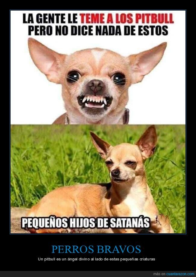 chihuahua,perros,pitbull,temer