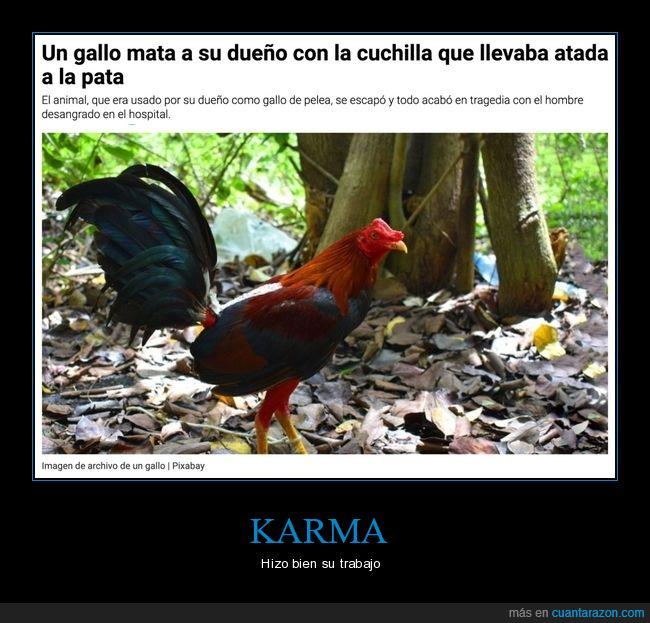 cuchilla,dueño,gallo,matar,pelea de gallos