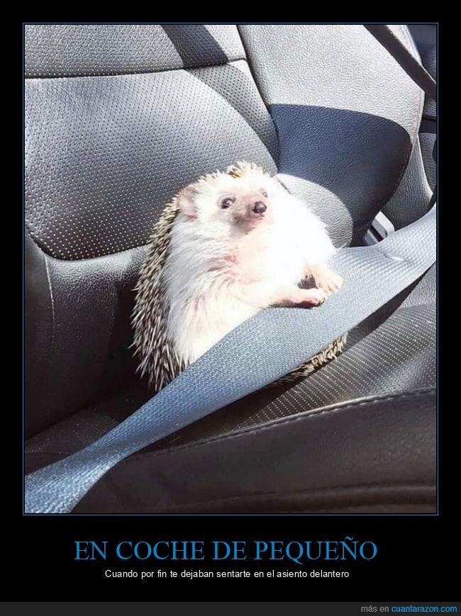 asiento,coche,erizo