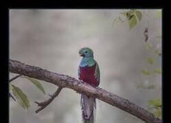 Enlace a Quetzal, el pájaro serpiente