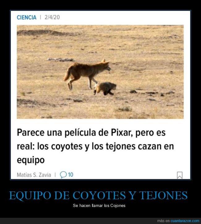 coyotes,equipo,tejones