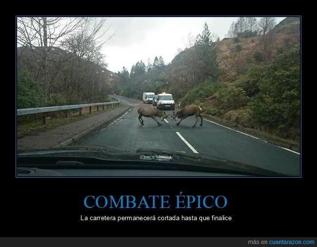 carretera,ciervos,pelea