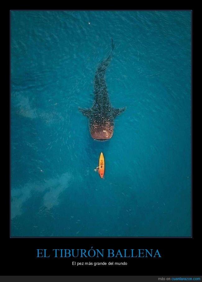grande,pez,tiburón ballena