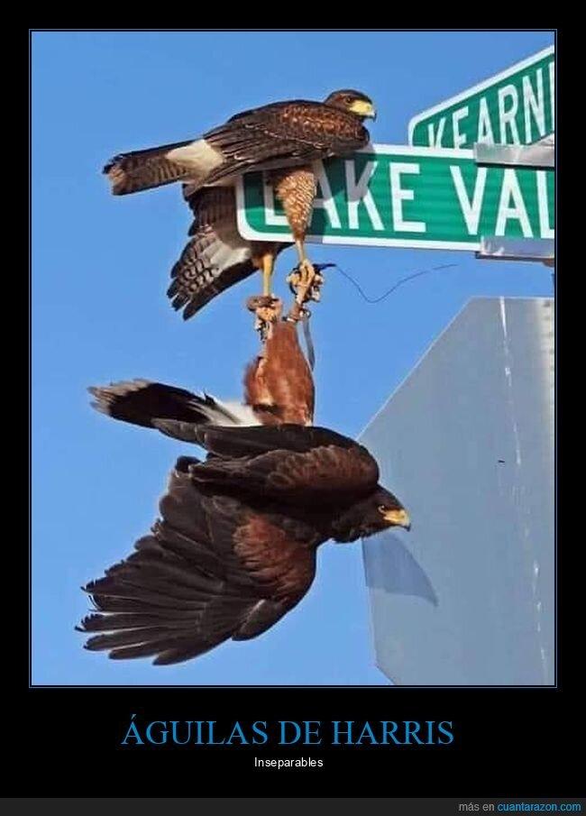 agarradas,águilas de harris,cartel,wtf