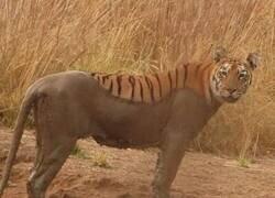 Enlace a Cargando tigre
