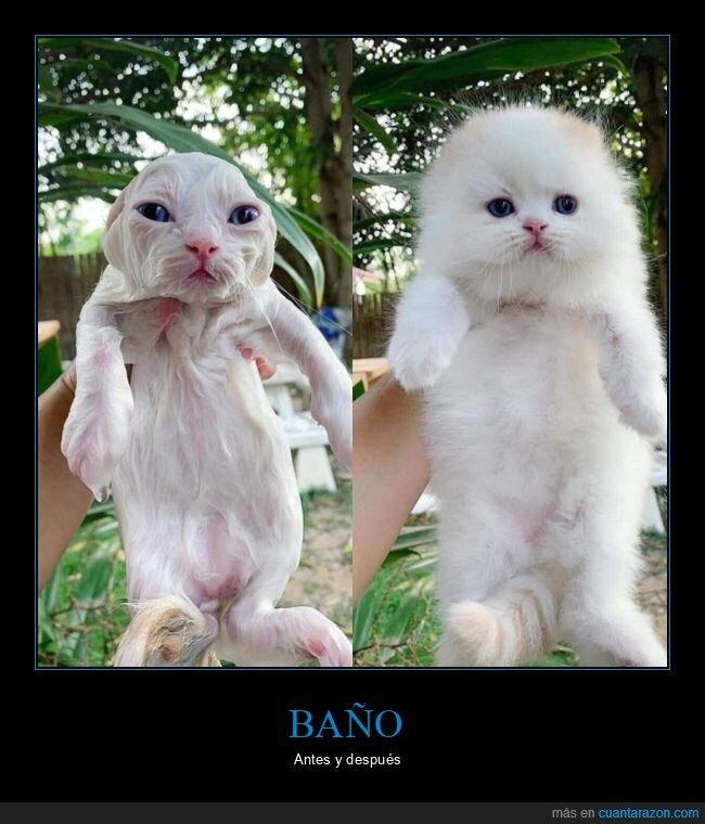 antes,baño,después,gato