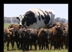Enlace a Una vaca para gobernarlas a todas