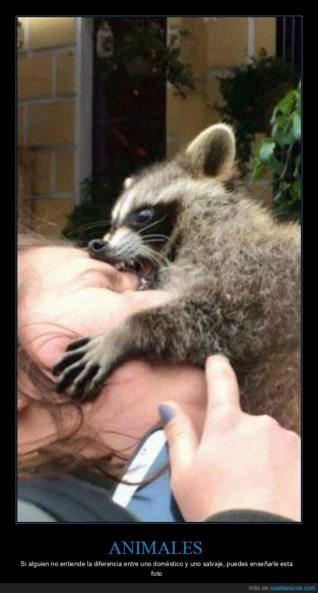 animales,domésticos,mapache,mordiendo,salvajes