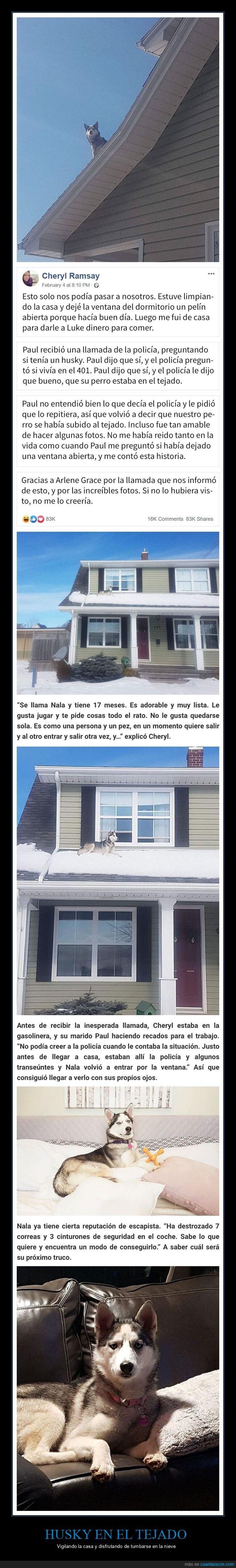 casa,husky,perro,policía,tejado