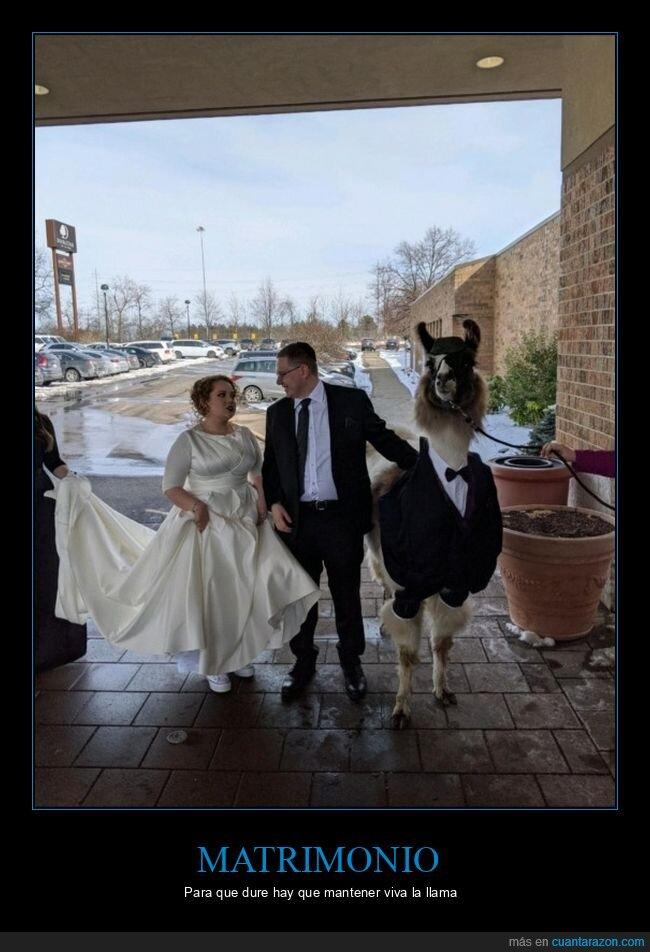 boda,llama,matrimonio