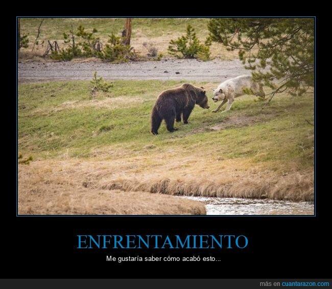 enfrentamiento,lobo,oso