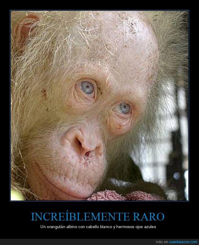albino,curiosidades,ojos azules,orangután