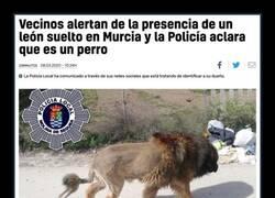 Enlace a ¿Un león suelto por Murcia?