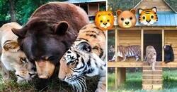 Enlace a Un oso, un tigre y una leona se hicieron amigos desde hace 15 años y nadie los puede separar
