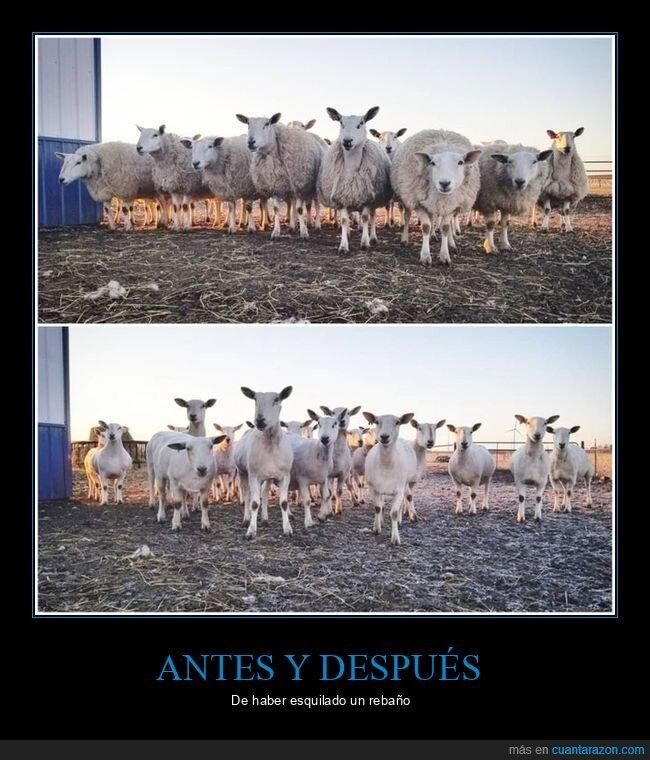 antes,después,esquilar,ovejas,rebaño
