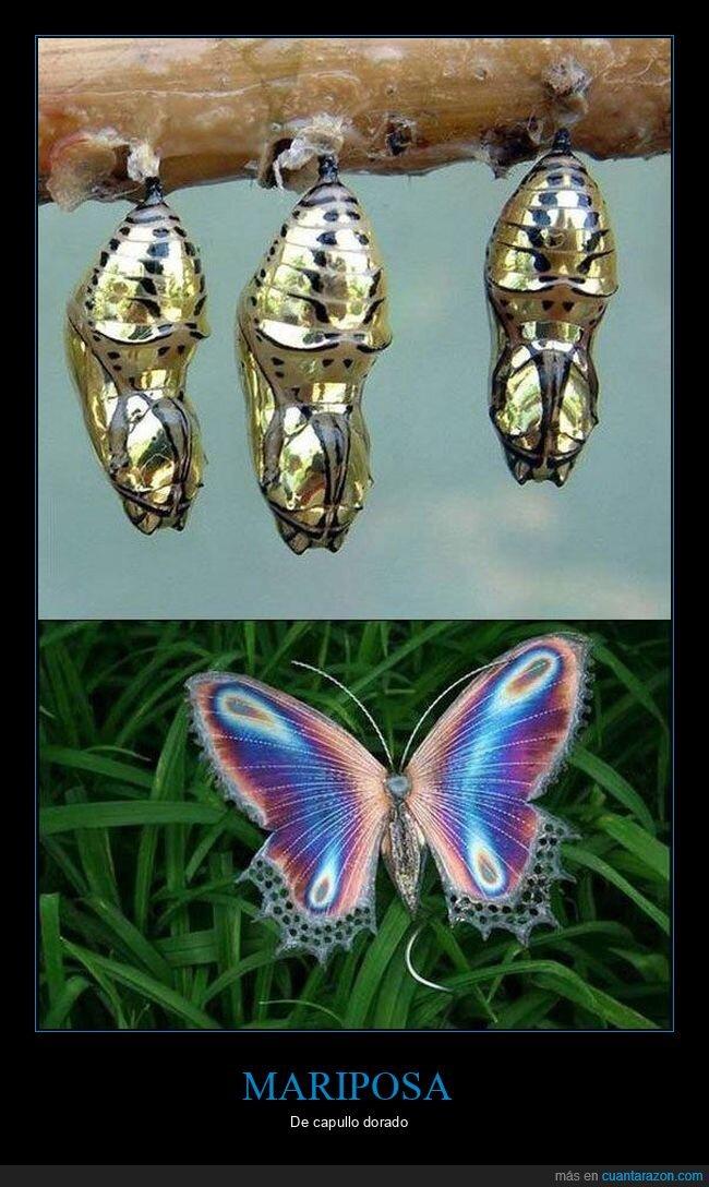 capullo,dorado,mariposa