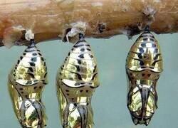 Enlace a Las crisálidas de oro de la mariposa de alas atigradas