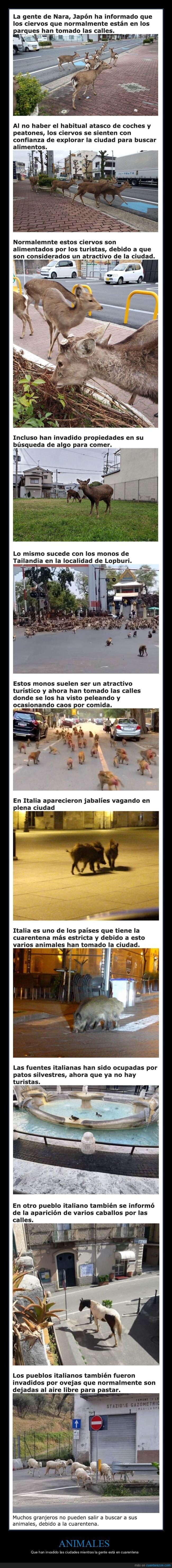 animales,ciudades,coronavirus,cuarentena,invadir