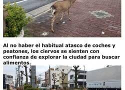 Enlace a Animales que han invadido las ciudades mientras la gente está en cuarentena