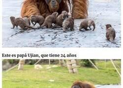 Enlace a Estos orangutanes se hicieron amigos de las nutrias que a menudo nadan a través de su recinto en el zoo