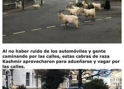 Enlace a Un centenar de cabras invaden las calles del Reino Unido debido a la cuarentena