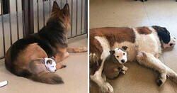 Enlace a Este perro busca a los perros más peludos de la guardería para echarse la siesta con ellos