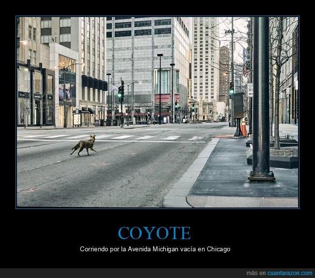chicago,coronavirus,coyote,cuarentena