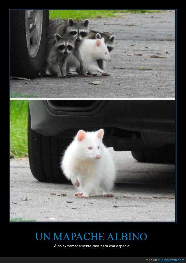 albino,curiosidades,mapache