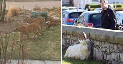 Enlace a Los animales invaden las ciudades mientras la gente se encierra en casa por la cuarentena