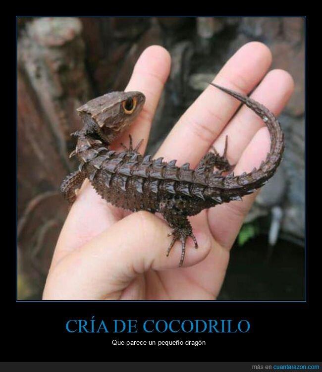 cocodrilo,cría,dragón,wtf