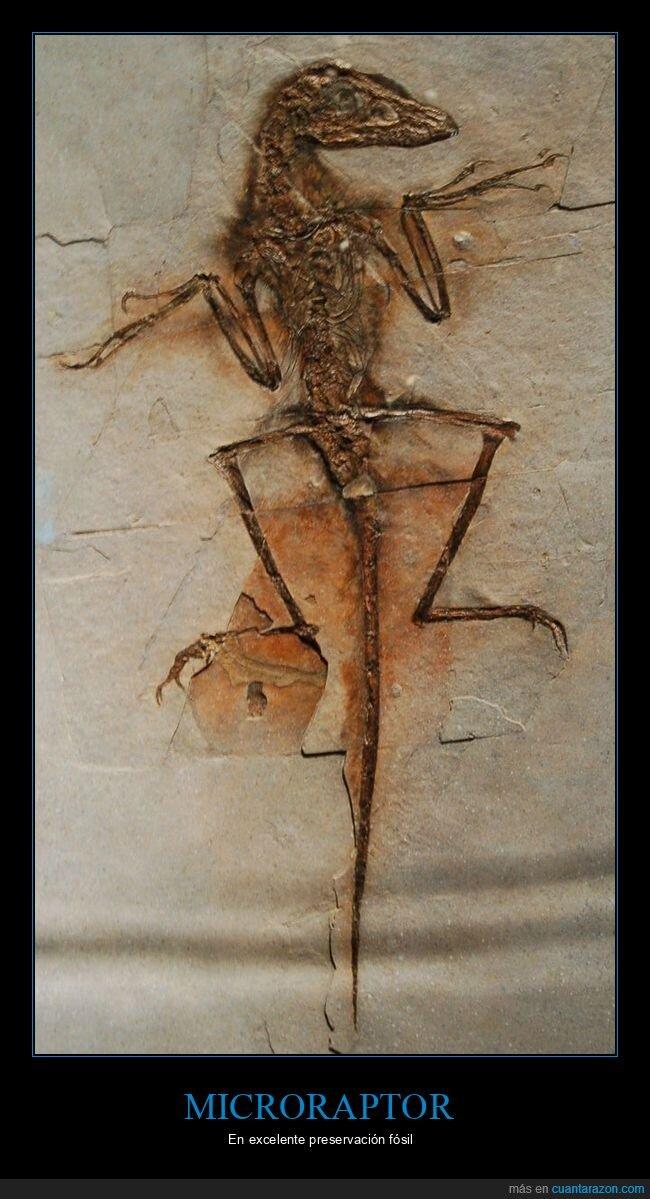 curiosidades,dinosaurio,fósil,microraptor