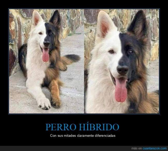 híbrido,mitad,perro
