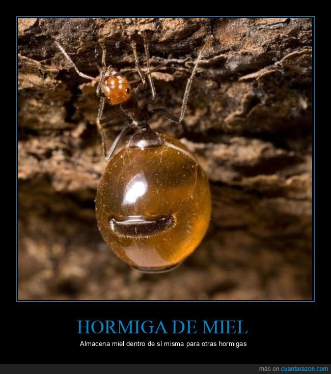 almacenar,hormiga,miel