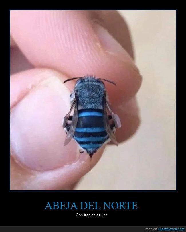 abeja,azul,curiosidades,wtf
