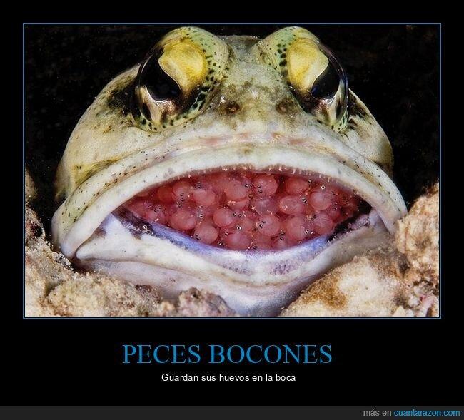 boca,curiosidades,huevos,pez bocón