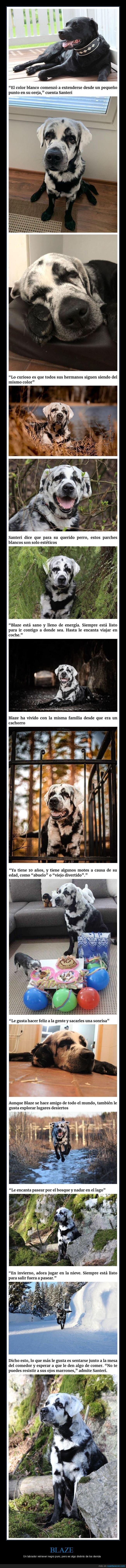 blanco,blaze,labrador,negro,perro