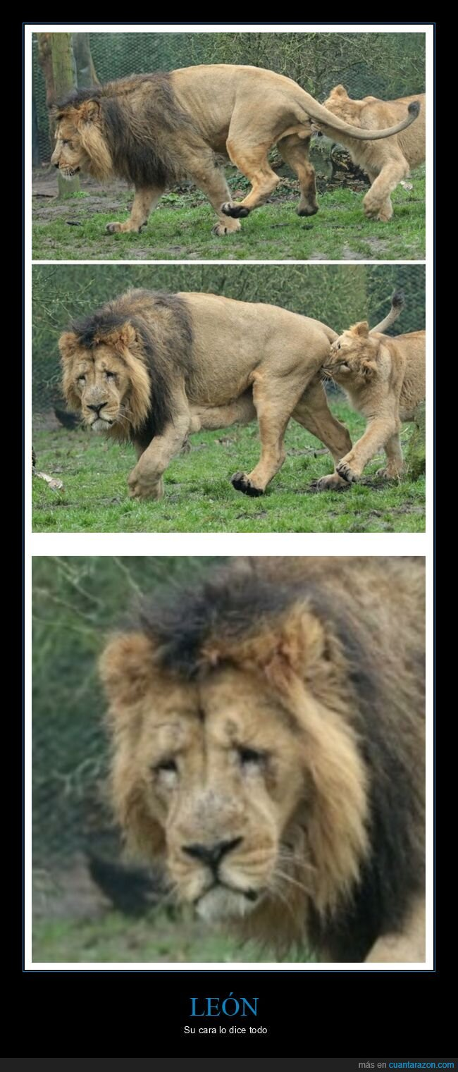 huevos,león,leona,wtf