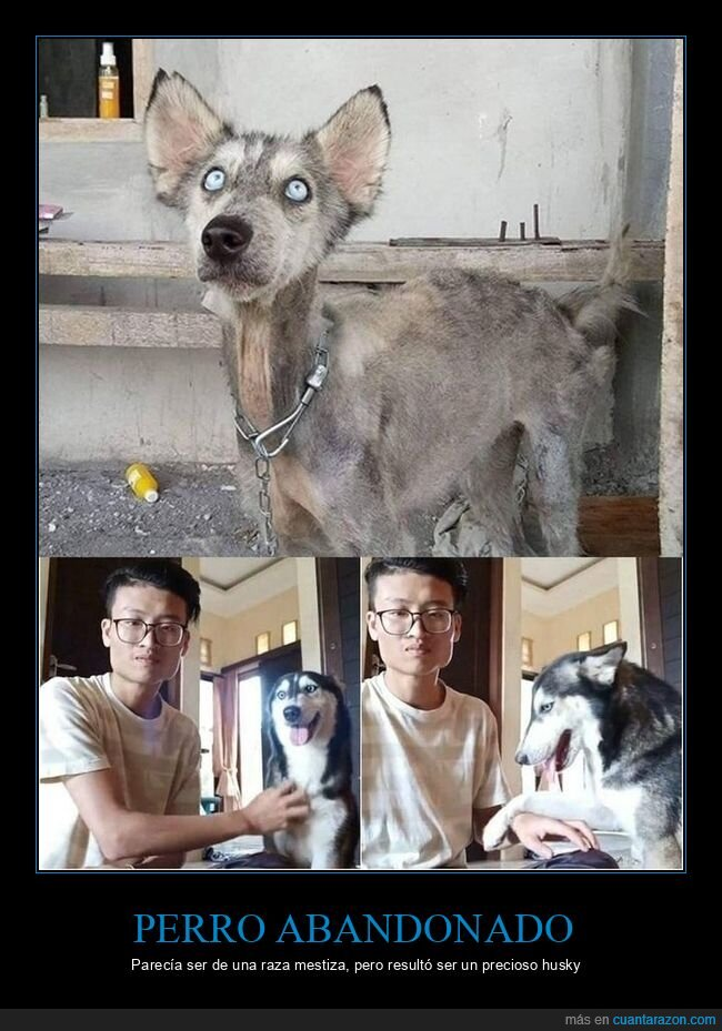 abandonado,husky,perro,raza
