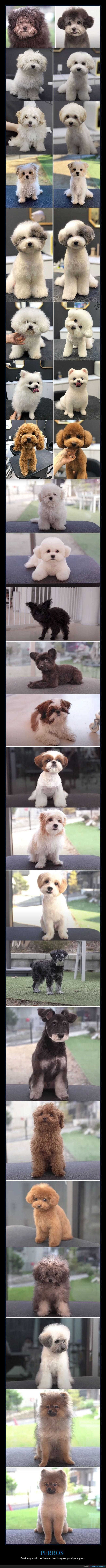 antes,corte de pelo,después,perros