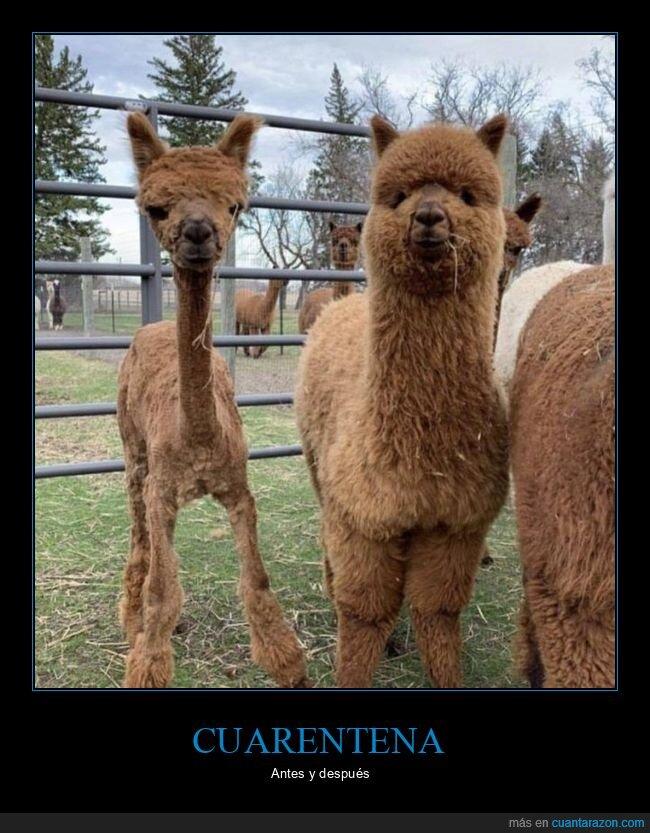alpacas,antes,coronavirus,cuarentena,después