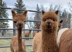 Enlace a Alpacas que representan el antes y el después de la cuarentena