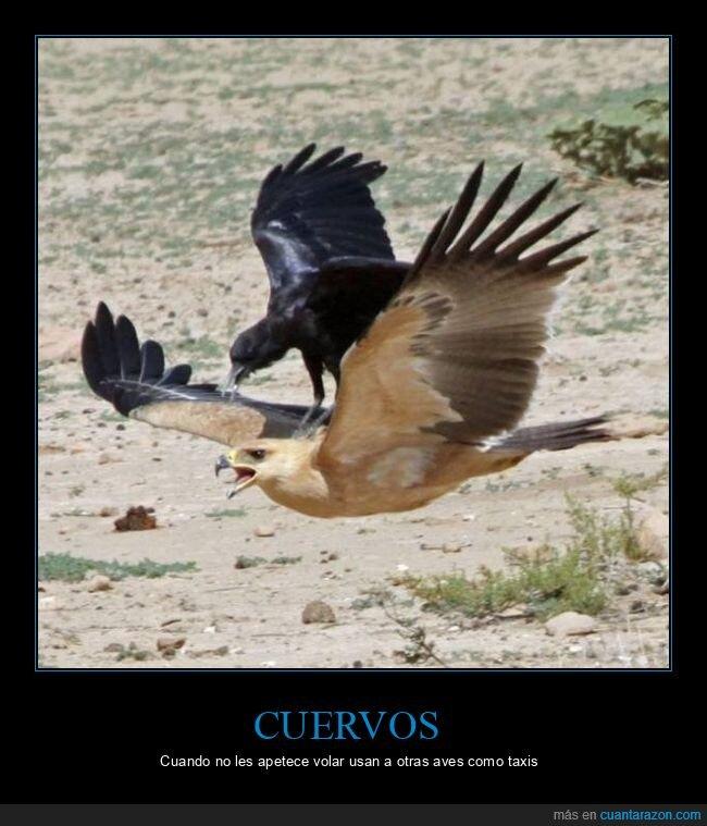 cuervo,halcón,pájaros,wtf