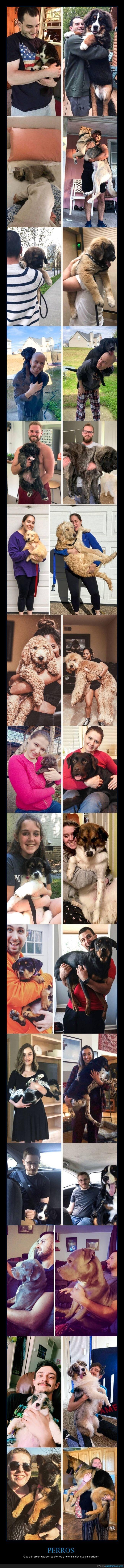 ahora,antes,cachorros,crecer,perros