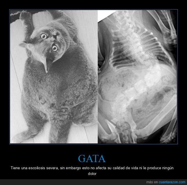 columna vertebral,escoliosis,gato,radiografía