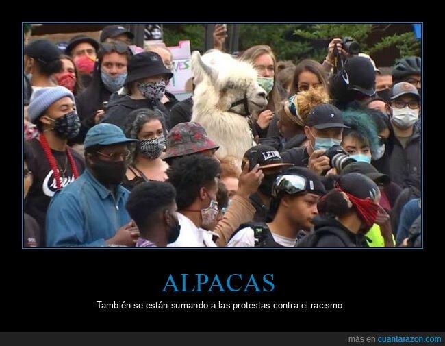 alpaca,manifestación,wtf