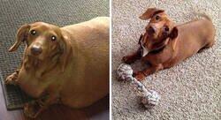 Enlace a Adorables perros que consiguieron perder peso