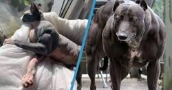 Enlace a Animales con hipertrofia por miostatina, la extraña mutación que les hace parecer culturistas