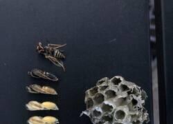 Enlace a Un nido de avispas con todas las fases de su evolución