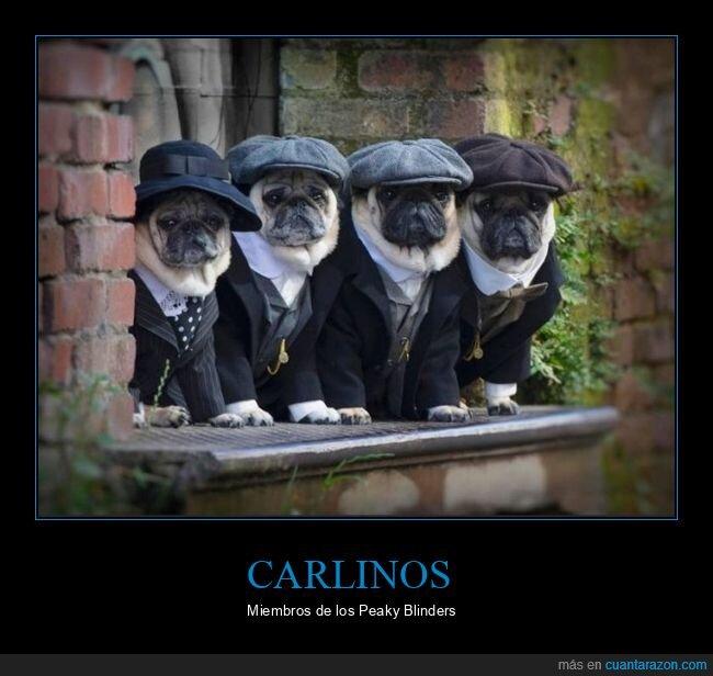 carlinos,peaky blinders,perros