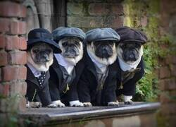 Enlace a Pug Blinders